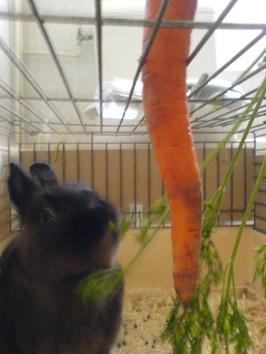 lapin adore les carottes 兔子爱吃胡萝卜