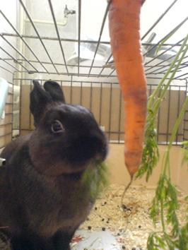 兔子爱吃胡萝卜 lapin adore les carottes