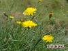 黄色的小野花