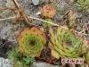 绿色的野宝石花